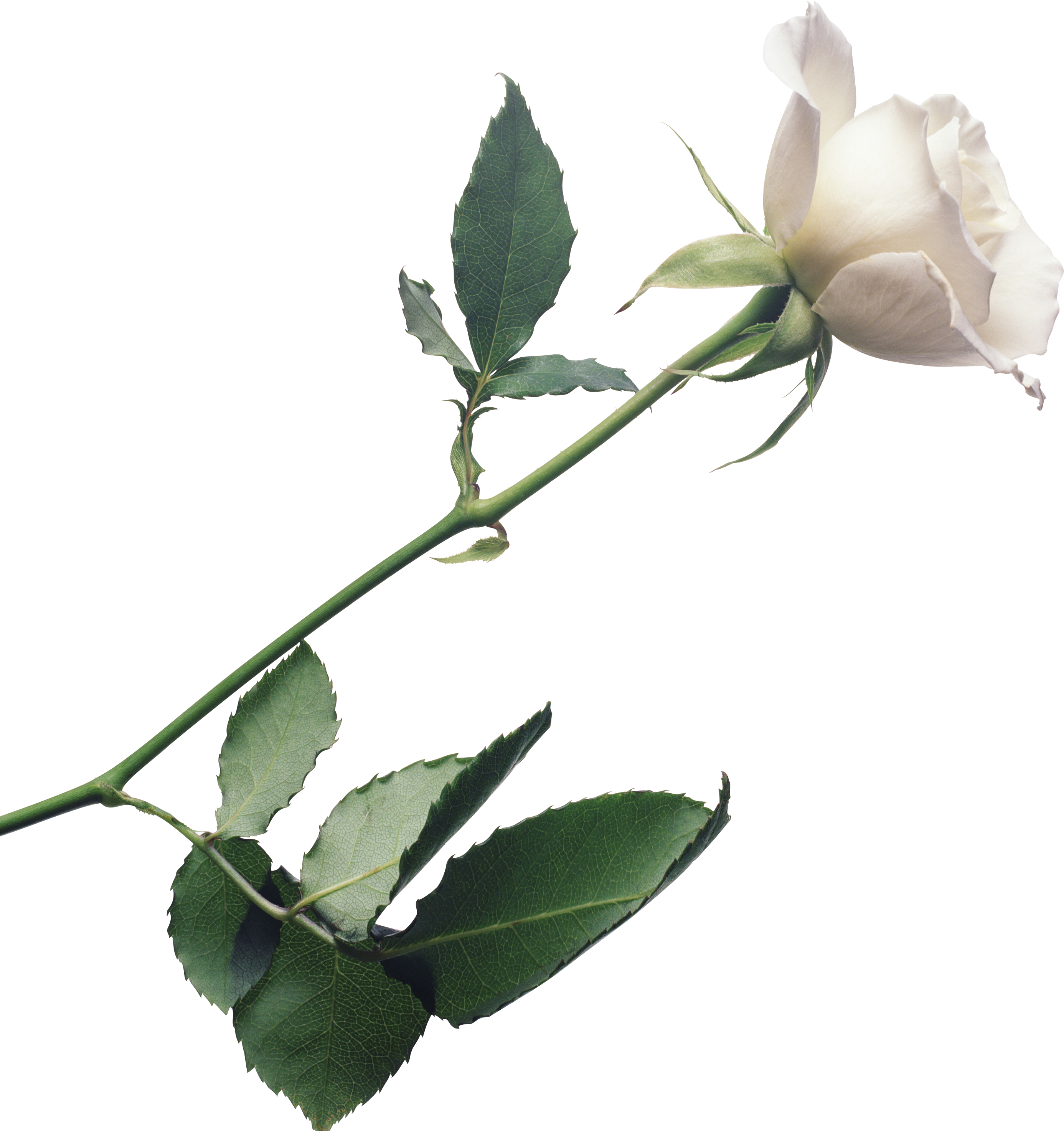 white_roses_PNG2791.png